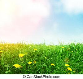 dandelions in green spring grass