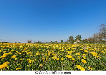 Dandelions in landscape