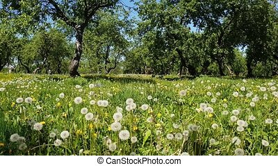 Dandelions in old apple orchard - Dandelions in the old...