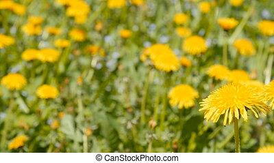A dolly shot of dandelions in a grassy field. - Dandelions...