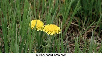 Dandelions in the fresh green grass of spring meadow. Yellow...