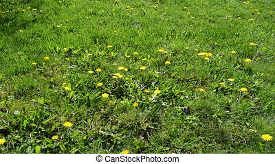 Dandelions in the Meadow, Taraxacum