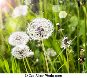 Dandelions in the sunlight