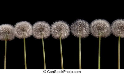 Dandelions on a Black Background