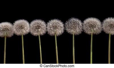 Dandelions on a Black Background