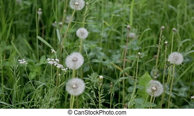 Dandelions on background of green grass