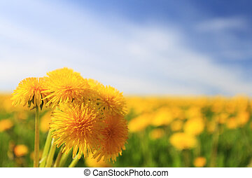 Group of yellow dandelions close-up