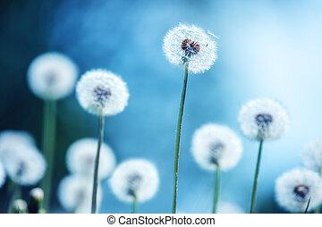dandelions on blue background closeup