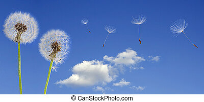 dandelions on blue sky