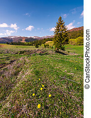 dandelions on grassy slopes in springtime. spruce forest at...