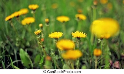 Dandelions on green grass lawn, focus on flower at foreground