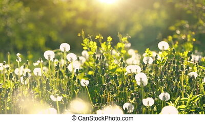 Dandelions on green sunny meadow. Summer concept.