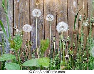 Dandelions on the background of wooden fence