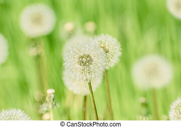 Dandelions on the Green