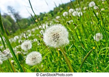 Dandelions on the green meadow