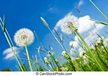 Dandelions on the meadow and blue sky