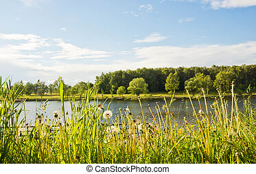 dandelions on the shore of a pond on summer day