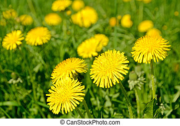 Dandelions (Taraxacum officinale) blooming in a field