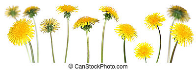 mix of 12 dandelions over clear white background (taraxacum officinale)