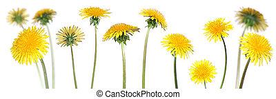 dandelions (taraxacum officinale) - mix of 12 dandelions ...