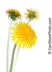 dandelions (taraxacum officinale) - three dandelions over ...