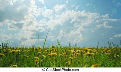 dandelions, timelapse slid