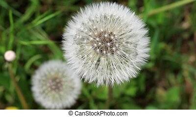 Dandelions top view