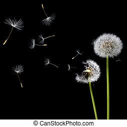 dandelions, vento