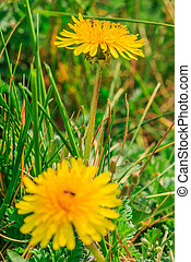 Dandelions with green grass in spring
