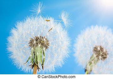Dandelions with seeds