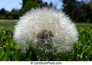 Dandilion head resting gently on grass. Great allergy picture!