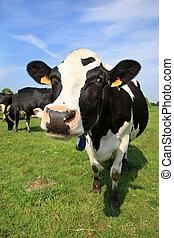 dando boas-vindas, vaca