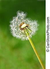 Dandylion weeds in a yard or field