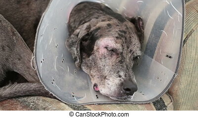 Dane mastiff dog eye problem sleepy on couch