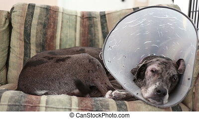 Dane mastiff dog eye problem wakes up happy on couch