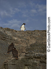Danger as Rockhopper Penguin head to the sea