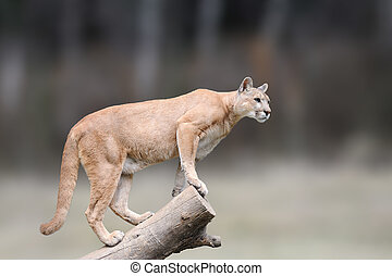 Danger Cougar sitting on branch in the autumn forest background