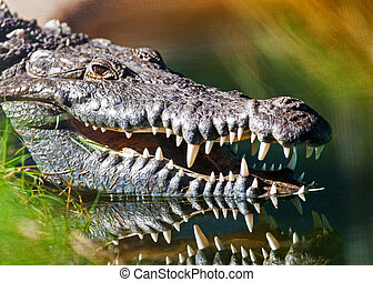 Dangerous American Crocodile In Water - Closeup of dangerous...