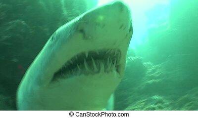 Dangerous big Tiger Shark Underwater - Underwater South...