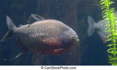 dangerous fishes carnivore - red belly piranha .