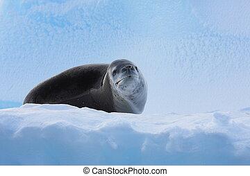 Dangerous leopard seal on ice floe in Antartica