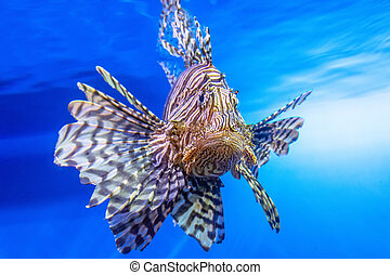 Dangerous Lionfish zebra fish in the mediterranean sea water.