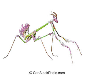 Dangerous predator mantis insect catches prey with long...