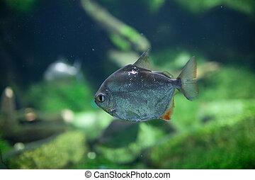 Dangerous Red-breasted Piranha (Serrasalmus Nattereri)