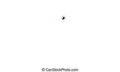 Dangerous red tropical tick isolated on white background. ...
