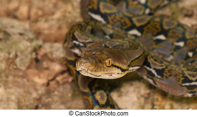 Dangerous Reticulated Python Snake Smelling - A species of...