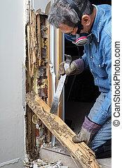 danificado, parede, removendo, térmita, madeira, homem