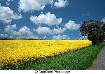 summer in the countryside in denmark rapse field