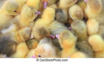 Danish Lehart goslings,farm animals, waterfowl baby birds