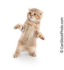 danse, race, isolé, pli, pur, écossais, chaton, rayé